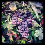 You're never far from a grape in Athens.