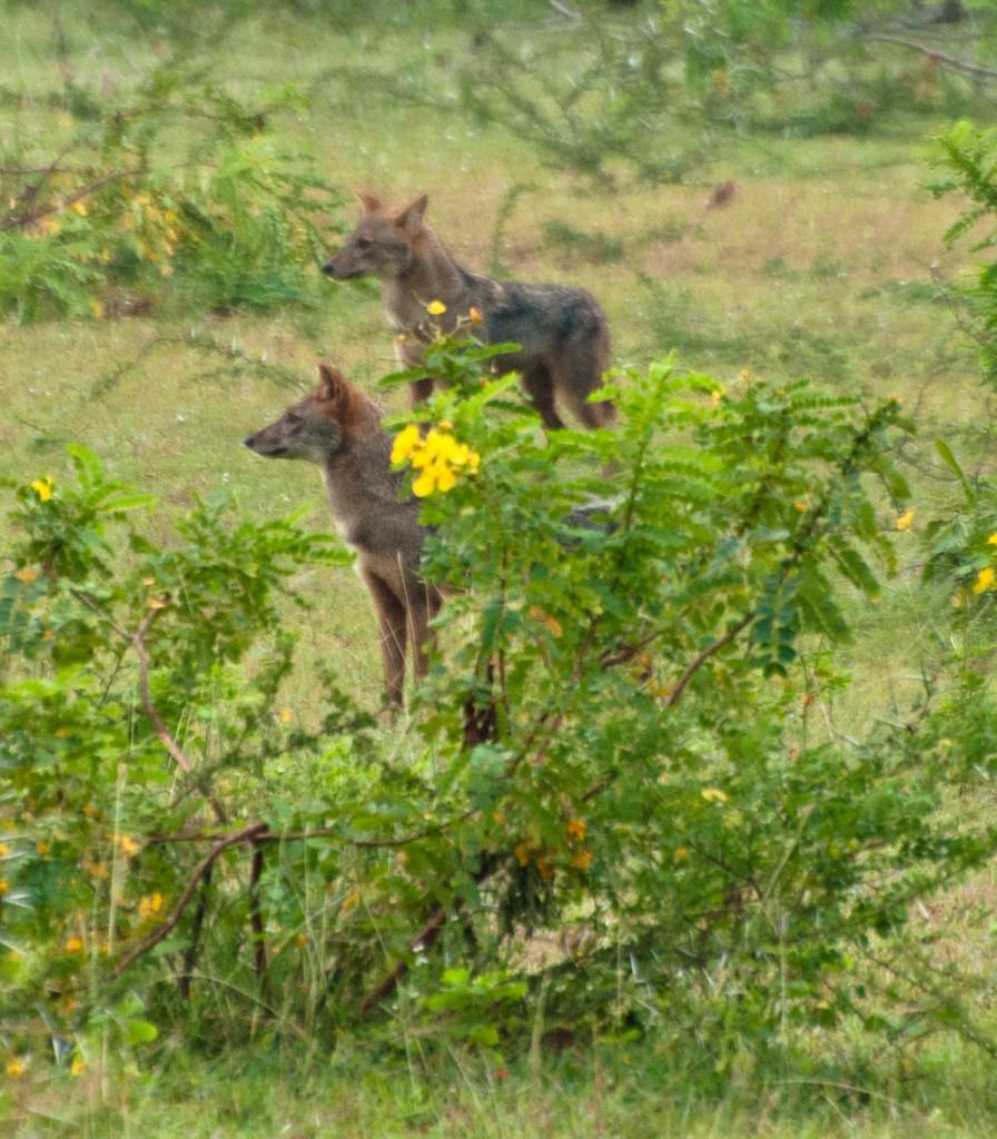 jackals stalking leopard