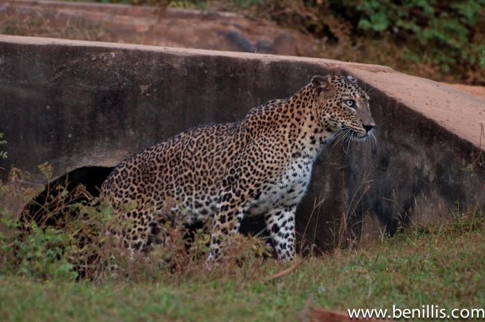 leopard (serendib)