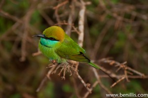little bee eater 2